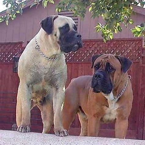 South African Boerboel Mastiff Dogs