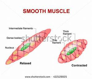 Vector Diagram Meiosis Phases Stock Vector 116607409 ...
