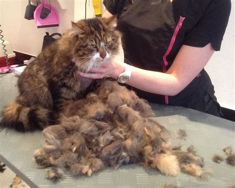 how to get mats out of cat hair cat grooming in chingford