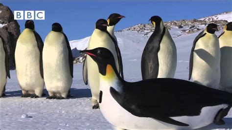 bbc emperor penguins  encounter   penguincam