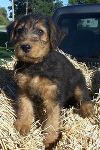 airedale terrier or red standard poodle