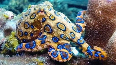 of octopuses changing color boing boing