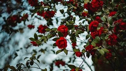 Bush Rose Flowering 4k Parede Papel 1080p