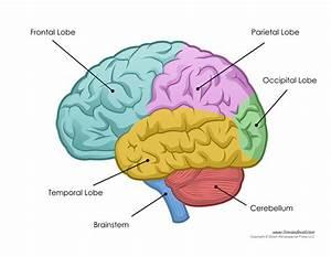 Tim Van De Vall  U2014 Human Brain Diagram