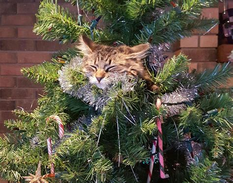 cat first seen christmas tree 17 confessions from tree loving cats
