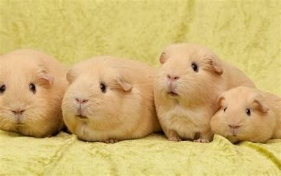 Pig Guinea Pigs Wallpapers Domestic Funny Desktop
