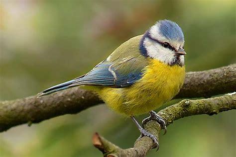 wie oft brüten meisen blaumeise vogelhaus futterhaus