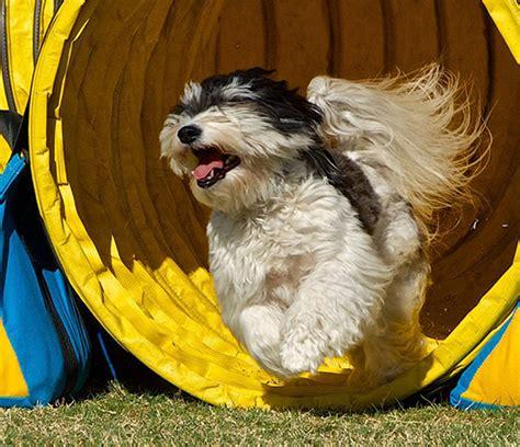 havanese champion stud dog arizona california rgang