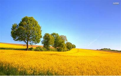 Yellow Nature Field Rapeseed Landscapes Wallpapers 4k