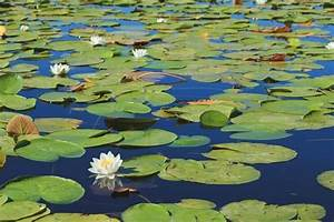 Water Lily  The Complete Guide  Care  Growing  Propagation