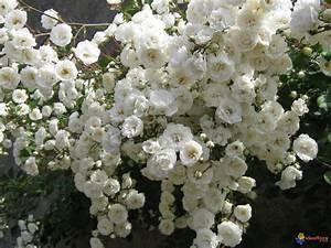 Rosier Grimpant Blanc : rosier blanc iceberg ~ Premium-room.com Idées de Décoration
