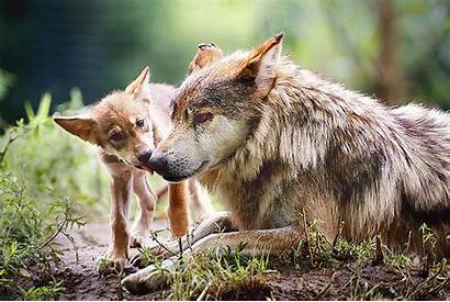 Wolf Mexican Gray Wolves Rare Mexico Save