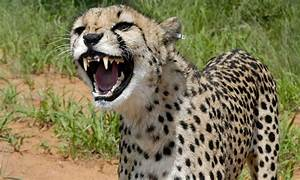 About Cheetahs  U2022 Cheetah Facts  U2022 Cheetah Conservation Fund