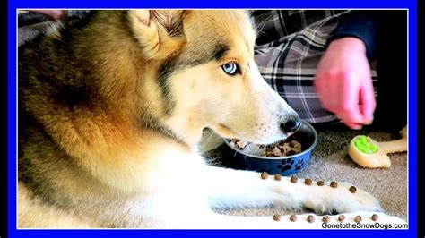 husky shelby   diva snow dog short  youtube