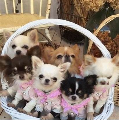 Puppies Chihuahua Update Sys Haute Starts Couture