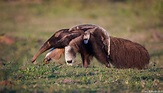 Anteaters   Photos Pictures Images in 2020   Anteater ...