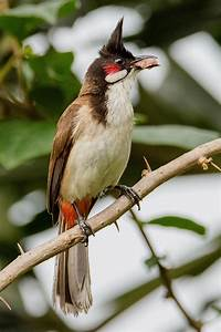 Red-whiskered bulbul - Wikipedia  Red