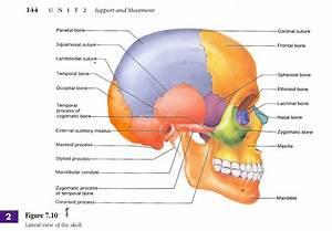 Skull Anatomy Diagram - Human Anatomy Diagram