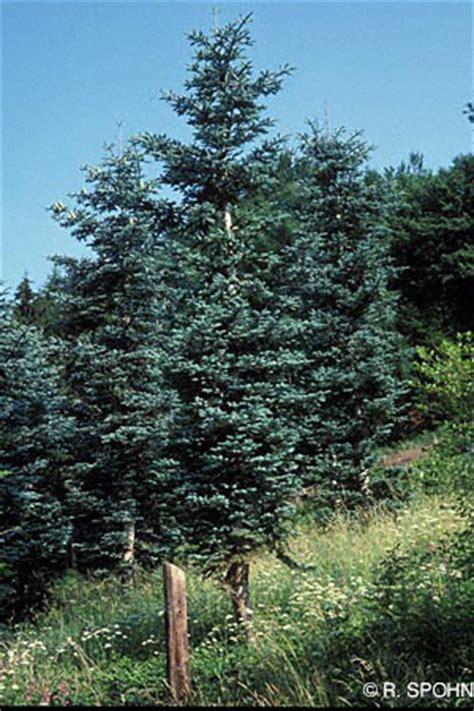 stihl baumlexikon blue noble fir