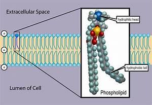 Cell Biology 02  The Plasma Membrane