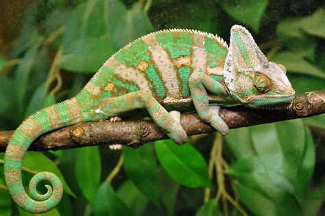 chameleon pet chameleons the amazing technicolour pet pets4homes