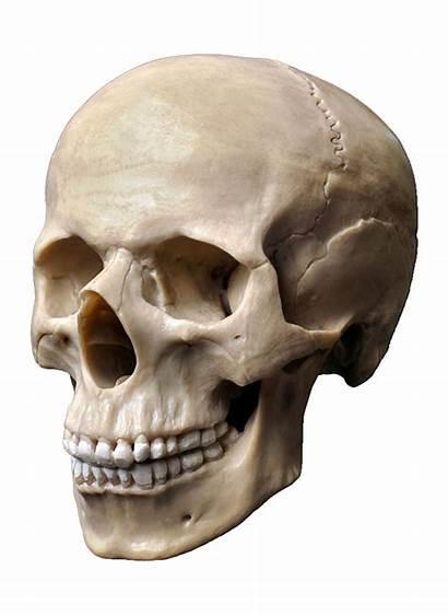 Skull Human Skeleton Head Clipart Cartoon Freepngclipart
