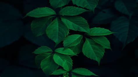 Green Leaves & Dark Background Hd Wallpaper  Hd Latest