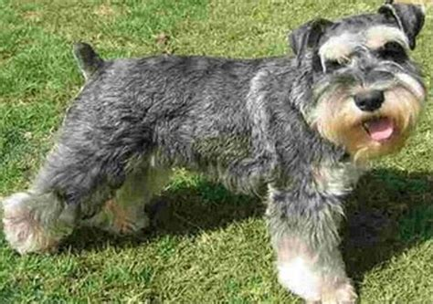 Image result for images of a schnauzer dog