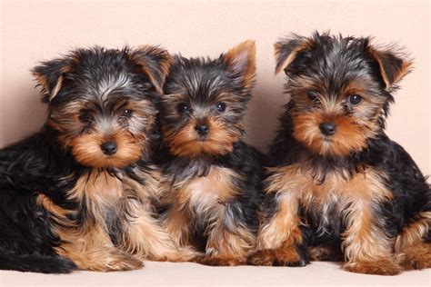 Yorkshire Terrier: Facts and Questions - Furry Babies