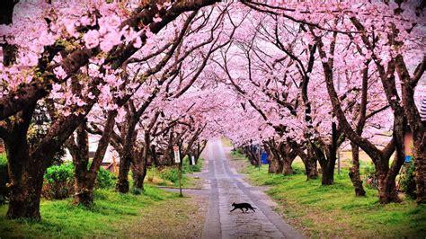 Bertepatan dengan momen seleksi guangzhou international awards 2018, bunga sakura dan tabebuya di surabaya. Akhir Tahun Nanti Mau Liburan Kemana? | Riska Ngilan