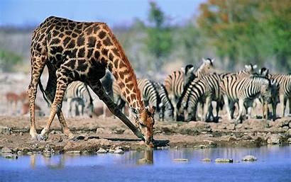Giraffe Wallpapers Animals Girafe Jirafa Animal Giraff