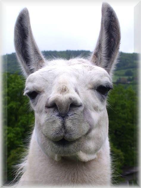 llama smiling smiling llama by metthanich on deviantart