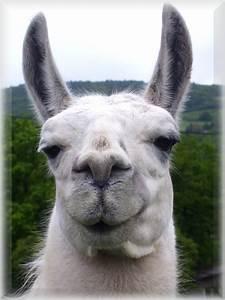 Smiling llama by metthanich on DeviantArt