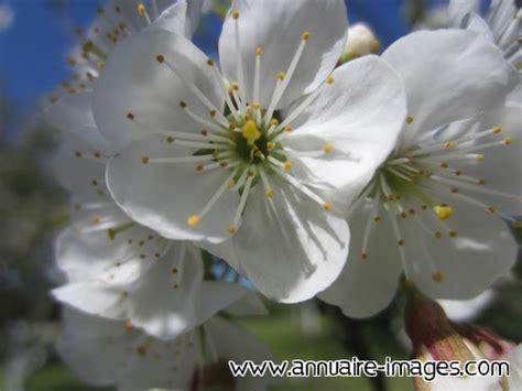 vers blanc cuisine photo ou image gratuite de fleur blanche de pommier