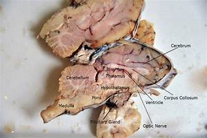 Fetal Pig Brain Dissection Labeled