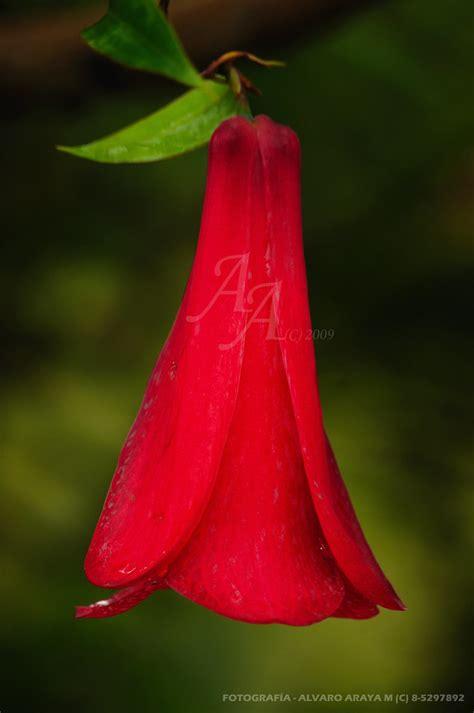 copihue chileno flor nacional de chile tomada en la local flickr