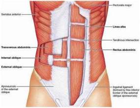 Images of List Of Core Muscles