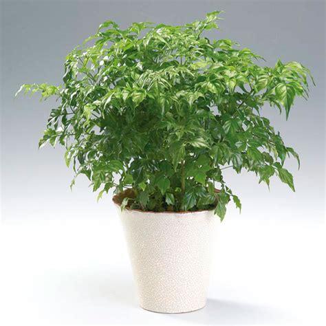 Plants Online Nursery by China Doll Radermachera Sinica My Garden Life