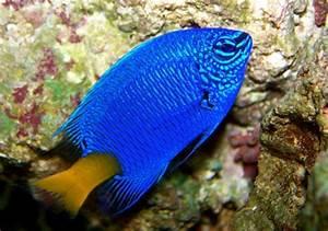 Yellowtail Blue Damsel