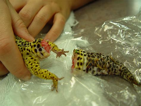 do leopard geckos shed their 100 do leopard geckos shed skin 100 do leopard