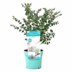 Eucalyptus En Pot : eucalyptus gunnii 39 azura 39 plantes ext rieures ~ Melissatoandfro.com Idées de Décoration