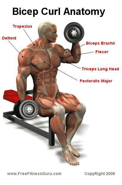 curl anatomy bicep biceps muscle curls fitness gym exercises body workout weight bodybuilding arm building workouts parts exercise male without