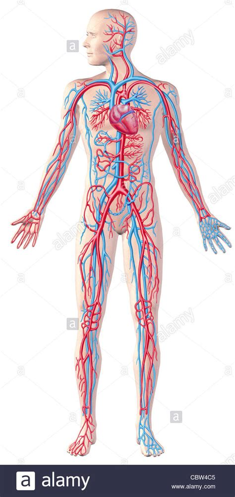 Human Circulatory System, Full Figure, Cutaway Anatomy Illustration Stock Photo 41734229 Alamy