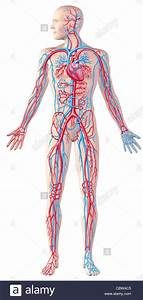 Human Circulatory System  Full Figure  Cutaway Anatomy