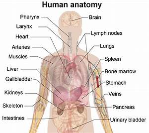 Simple Human Anatomy Diagram  With Images