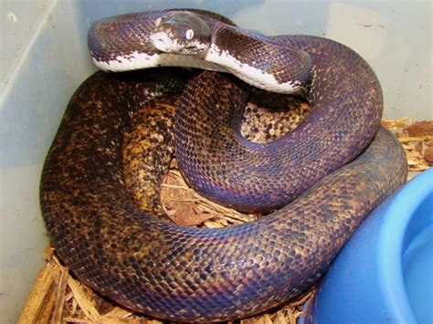 Savu Python Facts and Pictures