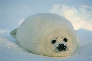 Baby Harp Seal Pup | A N I M A L S | Pinterest | Baby harp ...
