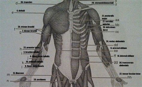 print exercise gross anatomy of the muscular system flashcards easy notecards