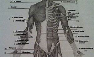 Print Exercise 14  Gross Anatomy Of The Muscular System Flashcards