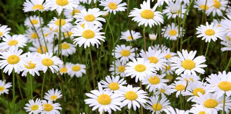 splitting shasta daisies maine garden ideas dividing and transplanting shasta daisies maine garden ideas